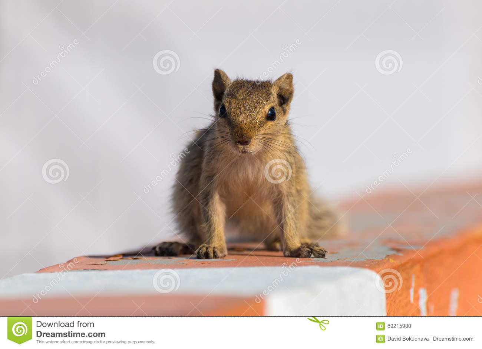 Indian Squirrel Ultra HD Desktop Background Wallpaper for ... |Indian Squirrel Wallpaper