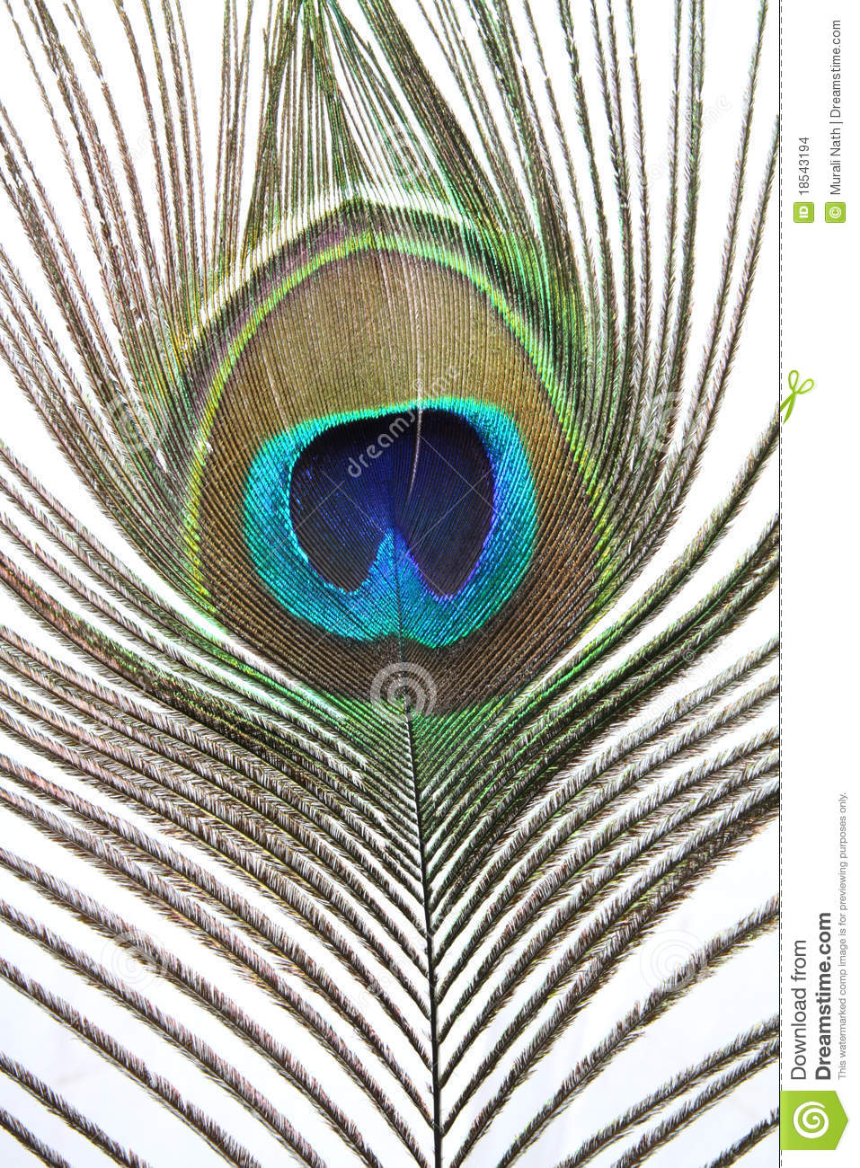 Indian Peacock Feather Stock Images - Image: 18543194