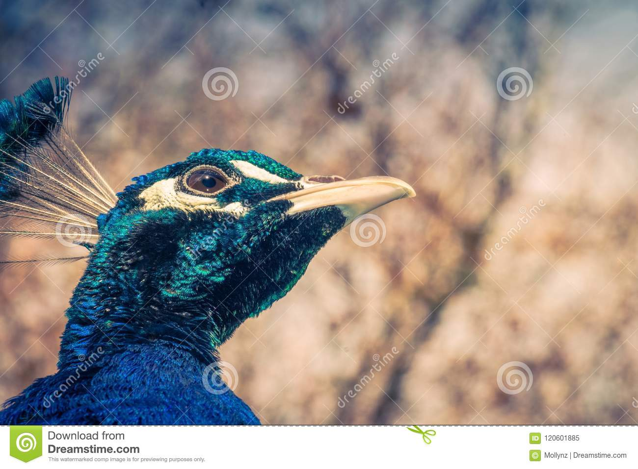 Close up view of a Peacock face with copy space