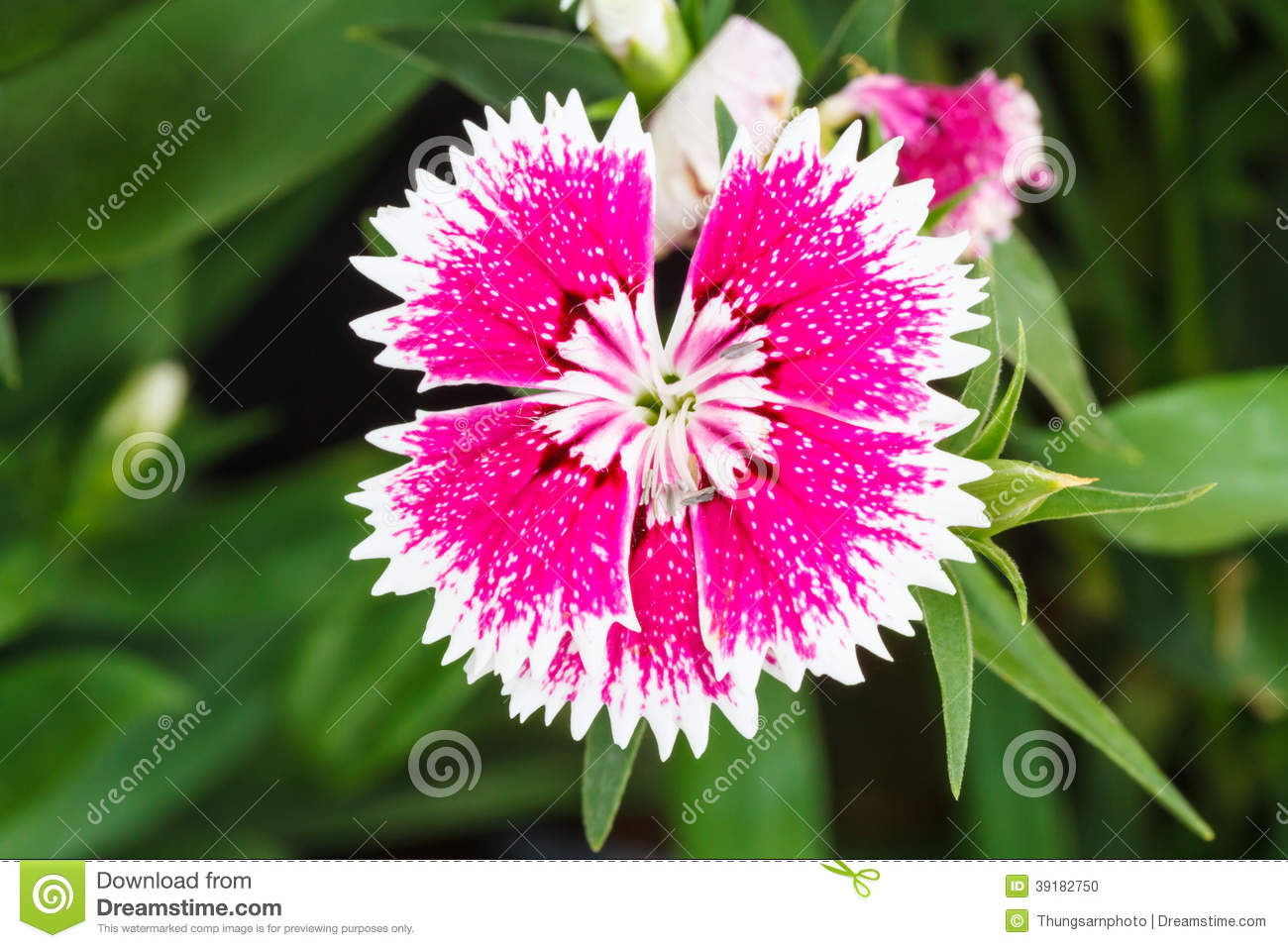 Indian pink china pink flower stock photo image of decoration download indian pink china pink flower stock photo image of decoration crimson mightylinksfo