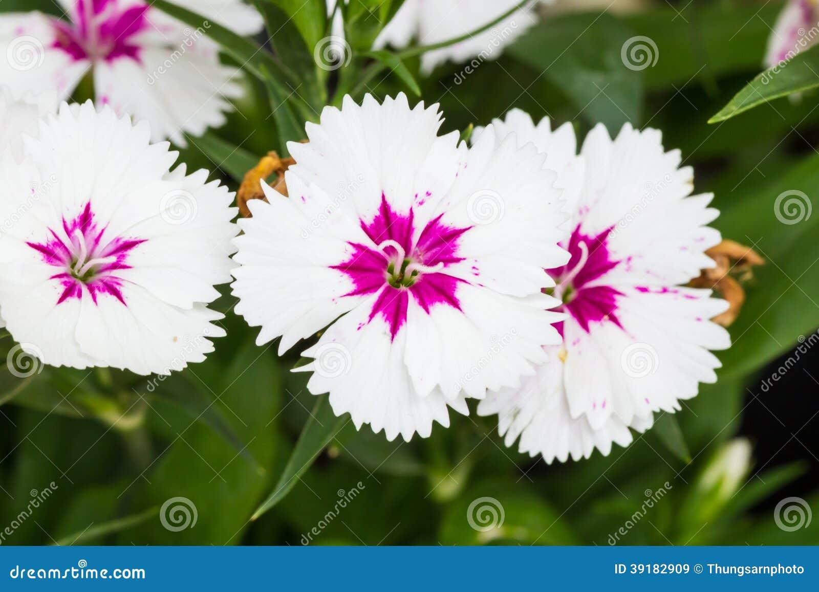 Indian Pink China Pink Flower Stock Image Image Of Interior