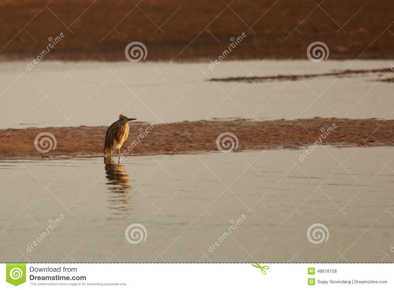 Indian pond heron stock photo image 48618158 for Breeding pond fish