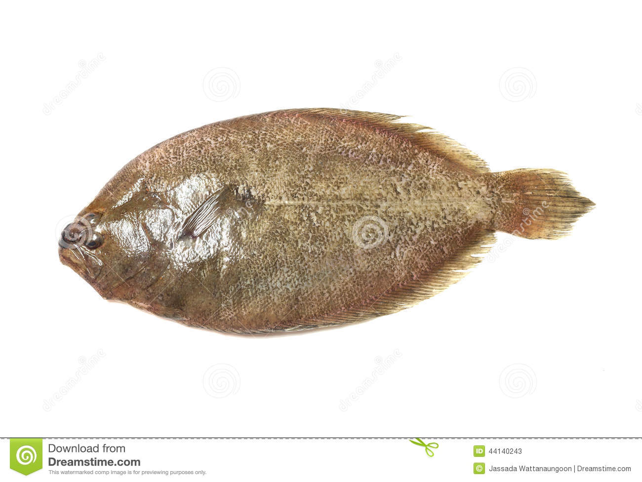 Indian psetta maxima turbot fish isolated on white for Turbot fish price