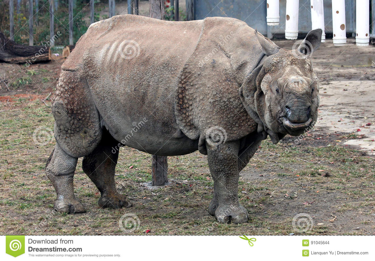 Pity, that asian one horned rhino very pity