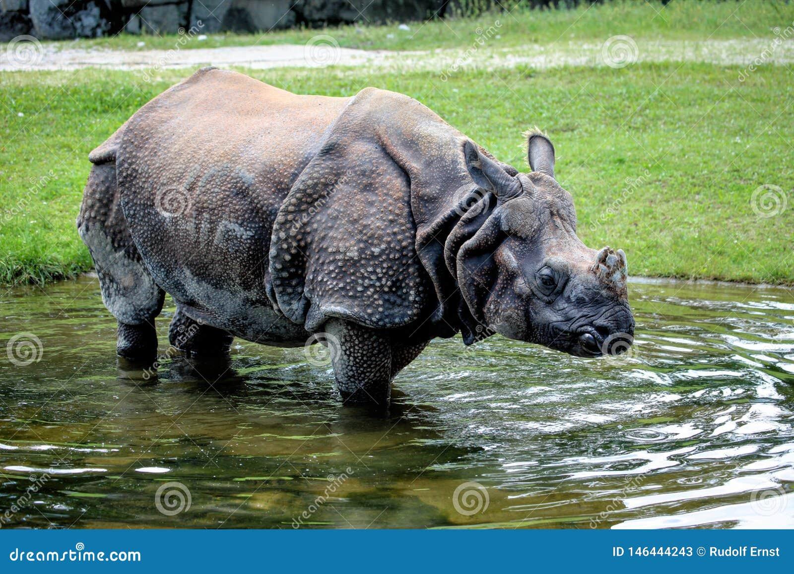 Asian one horned rhino