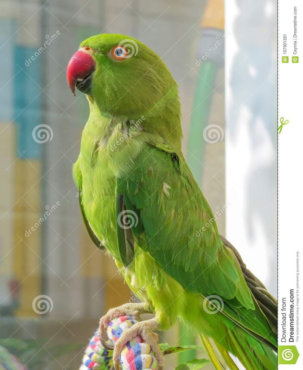 Indian Ringneck Parakeet Green Parrot With Red Beak Stock Image Image Of Feathers Colorful 107901391