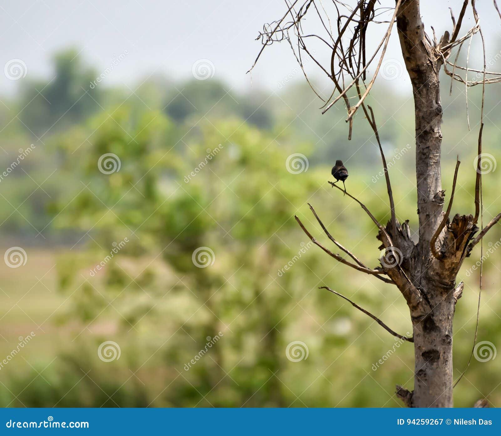 Indian Robin stock image  Image of nikon, indian, species - 94259267