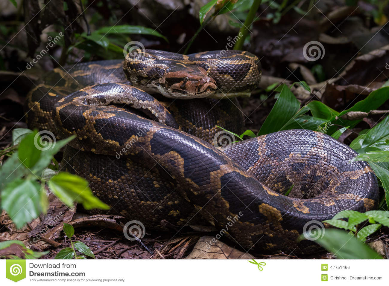 Indian Rock Python In Habitat Stock Photo Image Of Nature Ghats