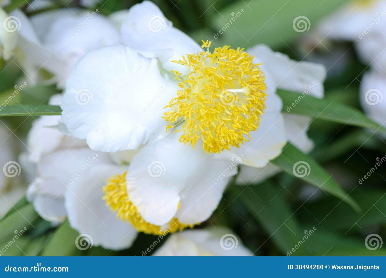 indian rose chestnut mesua ferrea linn stock photo