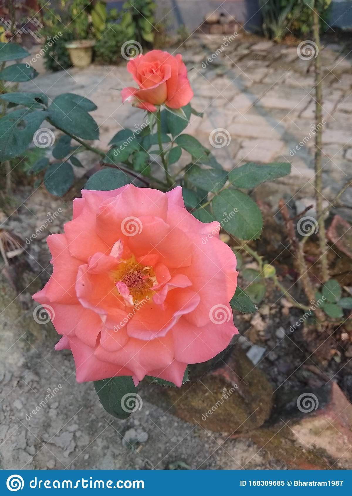 Indian Rose In Home Garden Stock Image Image Of Home 168309685
