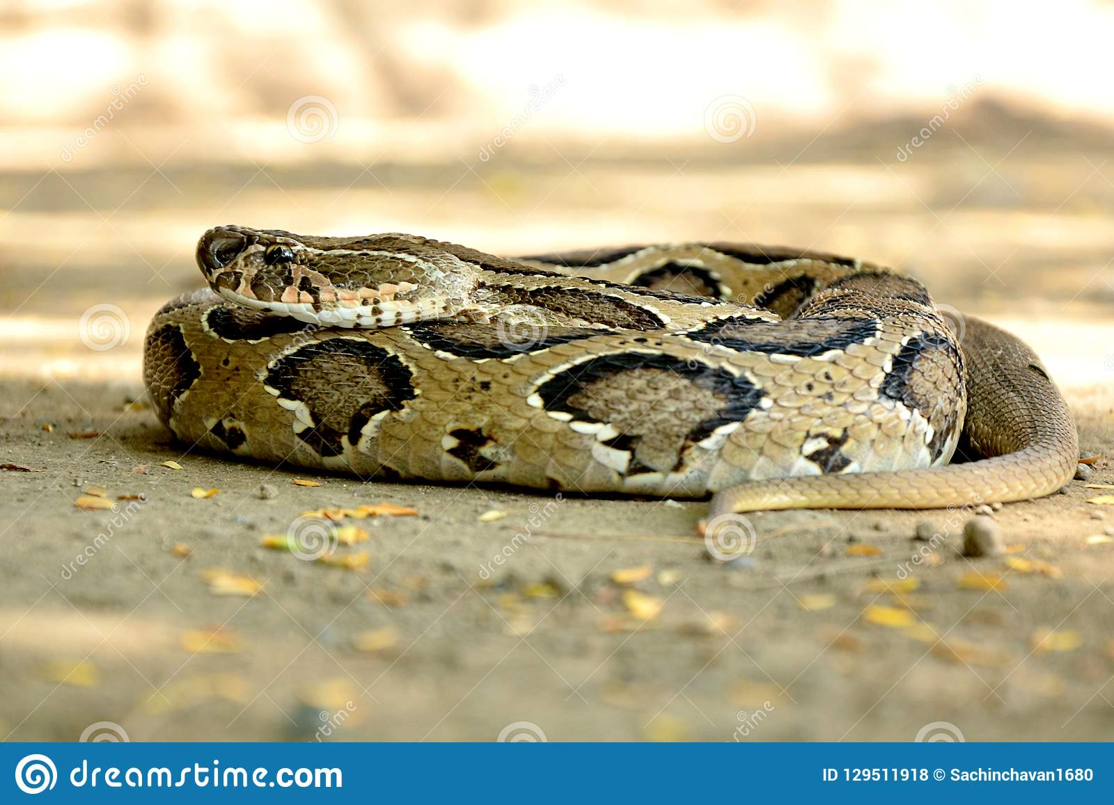 Indian Russell`s Viper Snake Wild Wallpaper Stock Photo - Image of