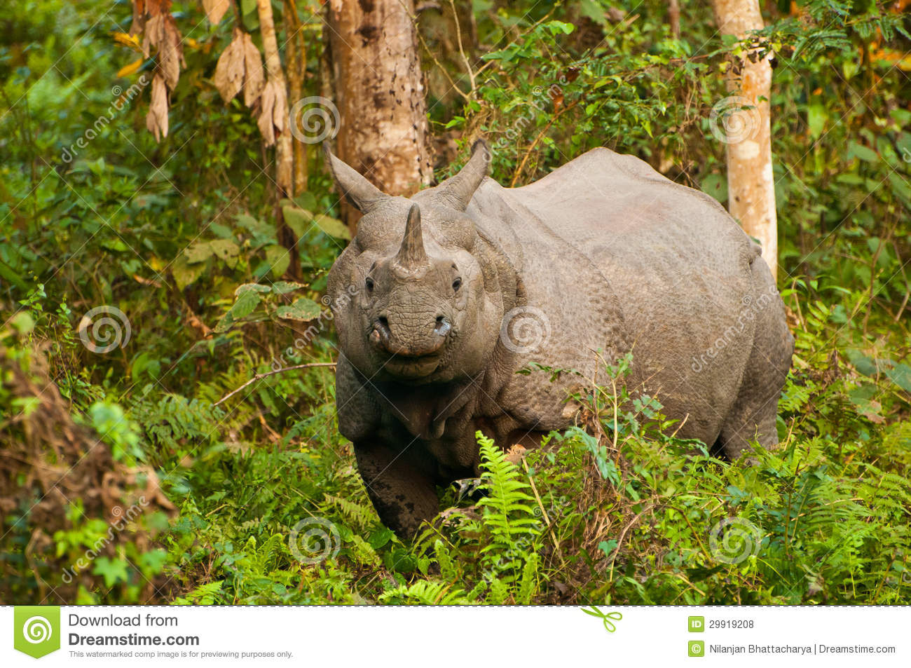 even today there exists a species of rhinoceros with one