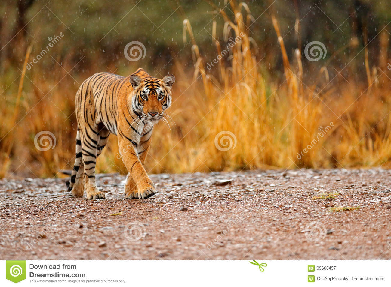 Download Indian Tiger Female With First Rain, Wild Animal In The Nature Habitat, Ranthambore, India. Big Cat, Endangered Animal. End Of Dry Stock Image - Image of color, habitat: 95608457