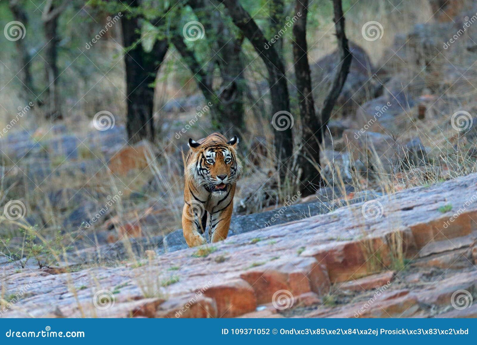 Indian tiger, wild danger animal in nature habitat, Ranthambore, India. Big cat, endangered mammal, nice fur coat. End of dry seas