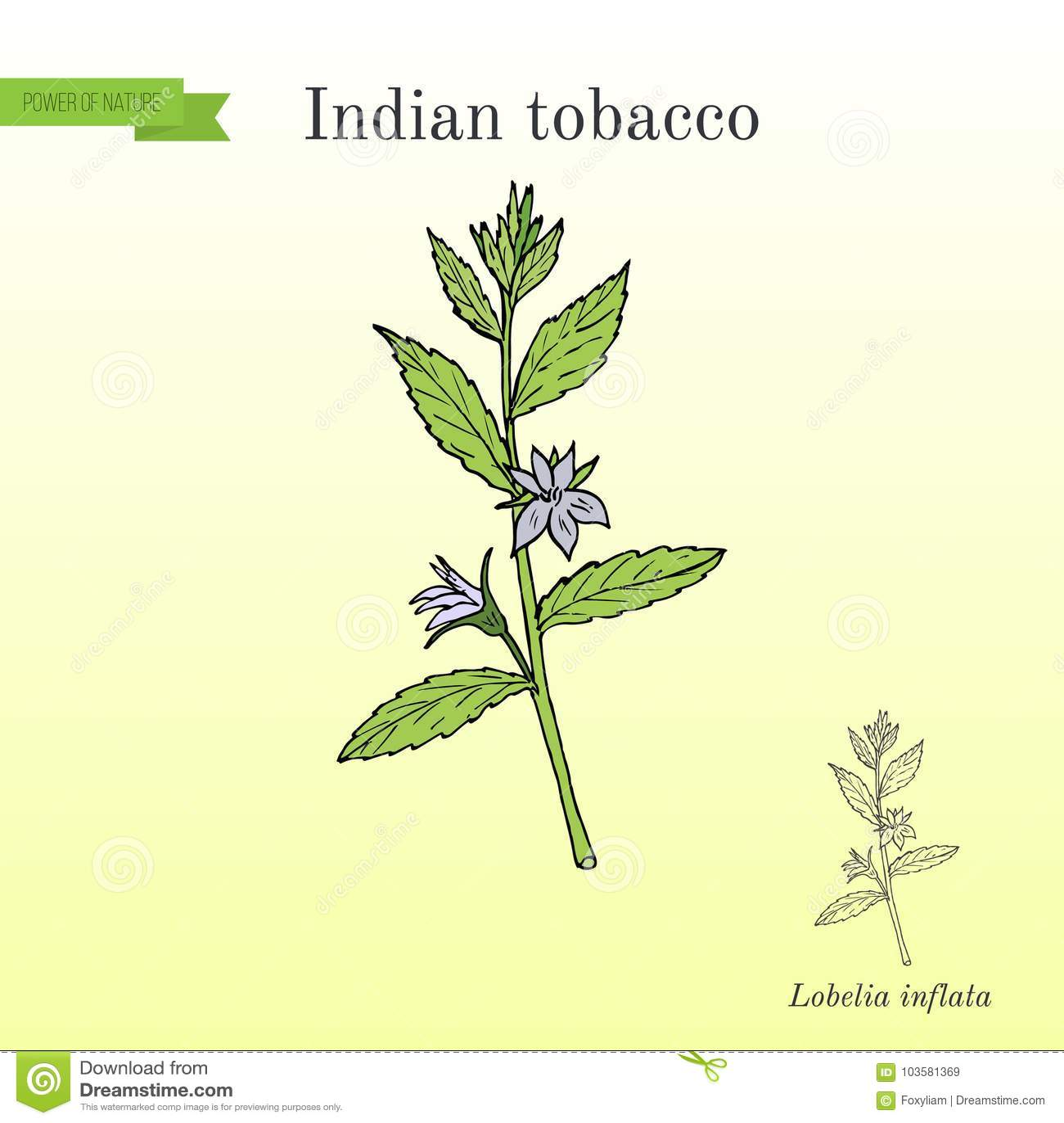 Indian Tobacco Lobelia Inflata Or Asthma Weed Medicinal Herb