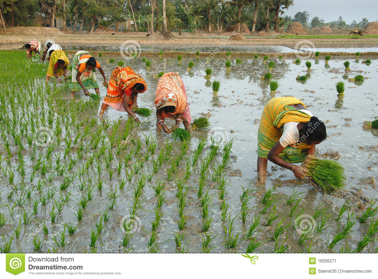 February 12, 2011.West Bengal,India,Asia-A group of people sow paddy ...