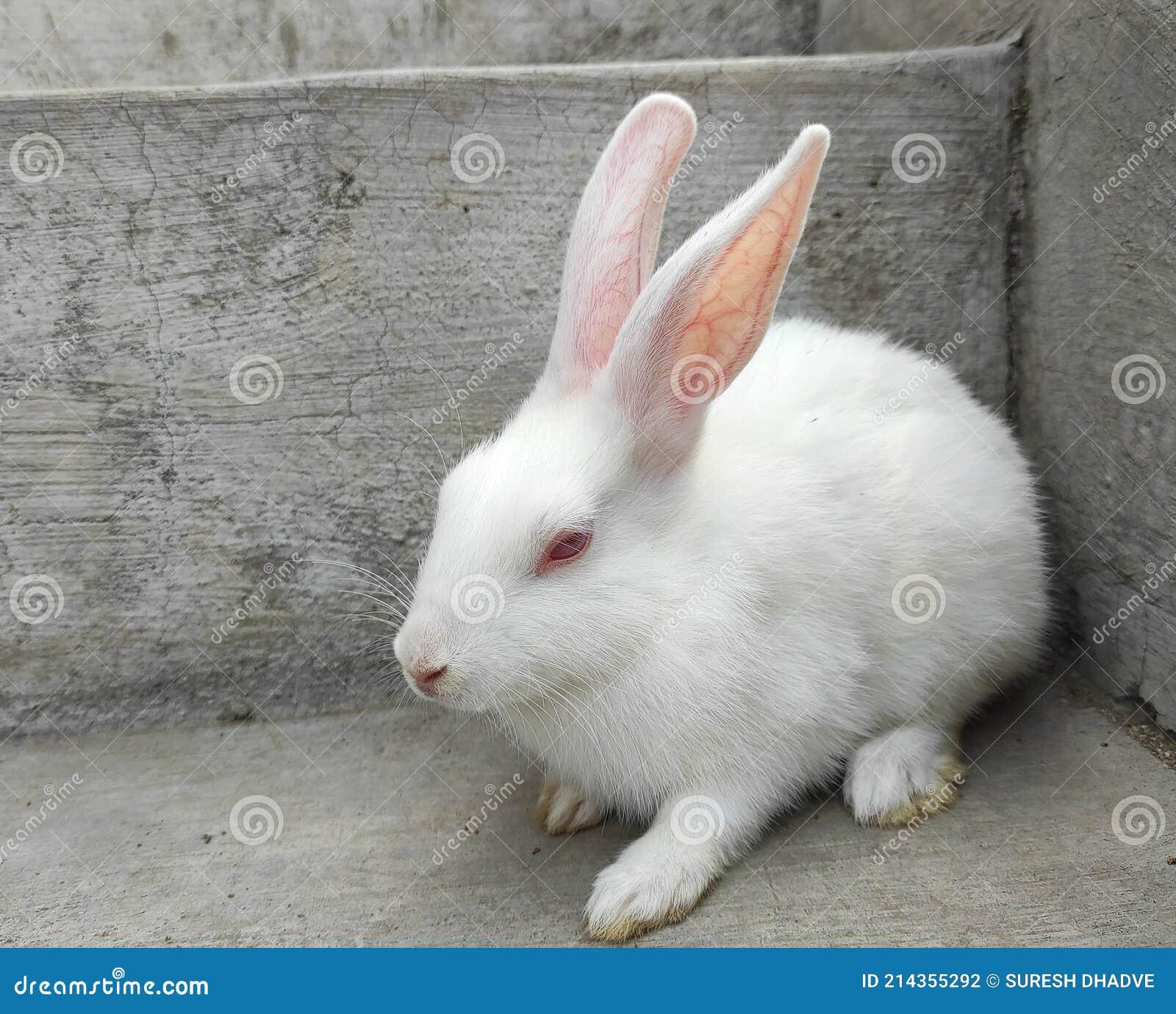 20,20 White Rabbit Red Eyes Photos   Free & Royalty Free Stock ...