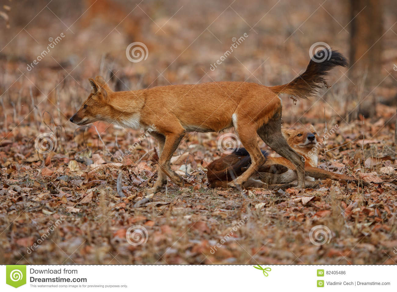 Indian Wild Dog In The Nature Habitat In India Stock Photo