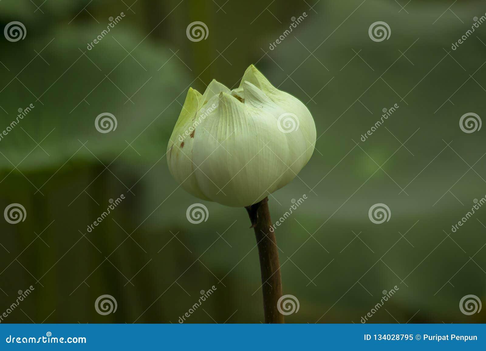 Indianin Lotus w natura kwiatach jest wielki