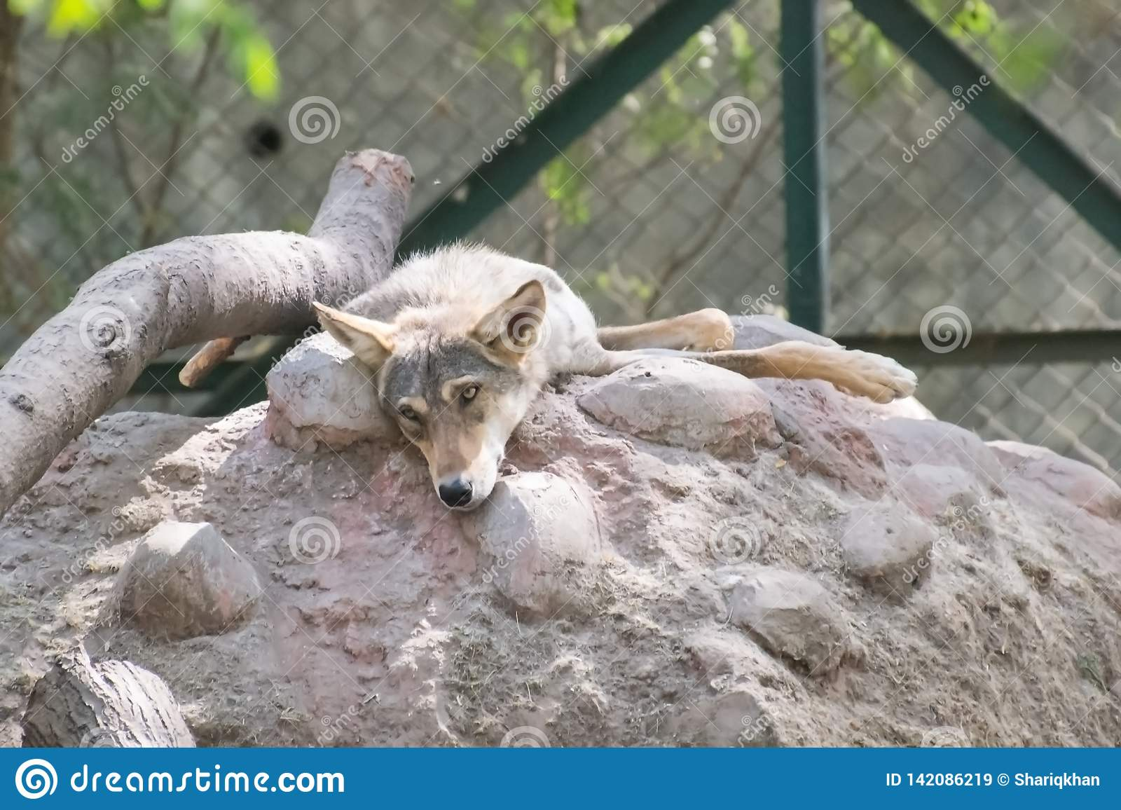 Indiano Wolf Sadly Looking ao descansar no monte
