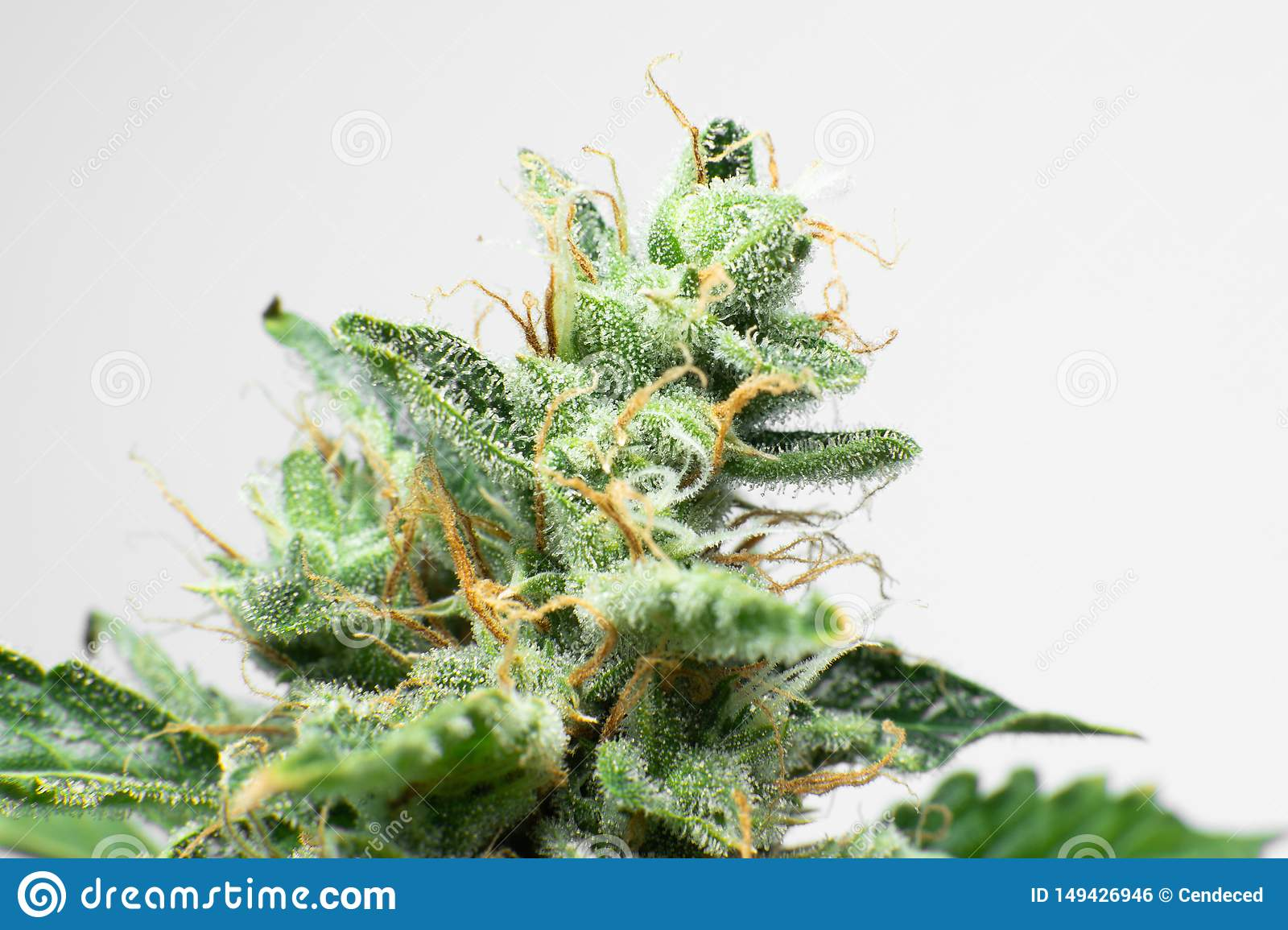 Indica Flower  Fresh Green Weed In Details  CBD THC In Pot