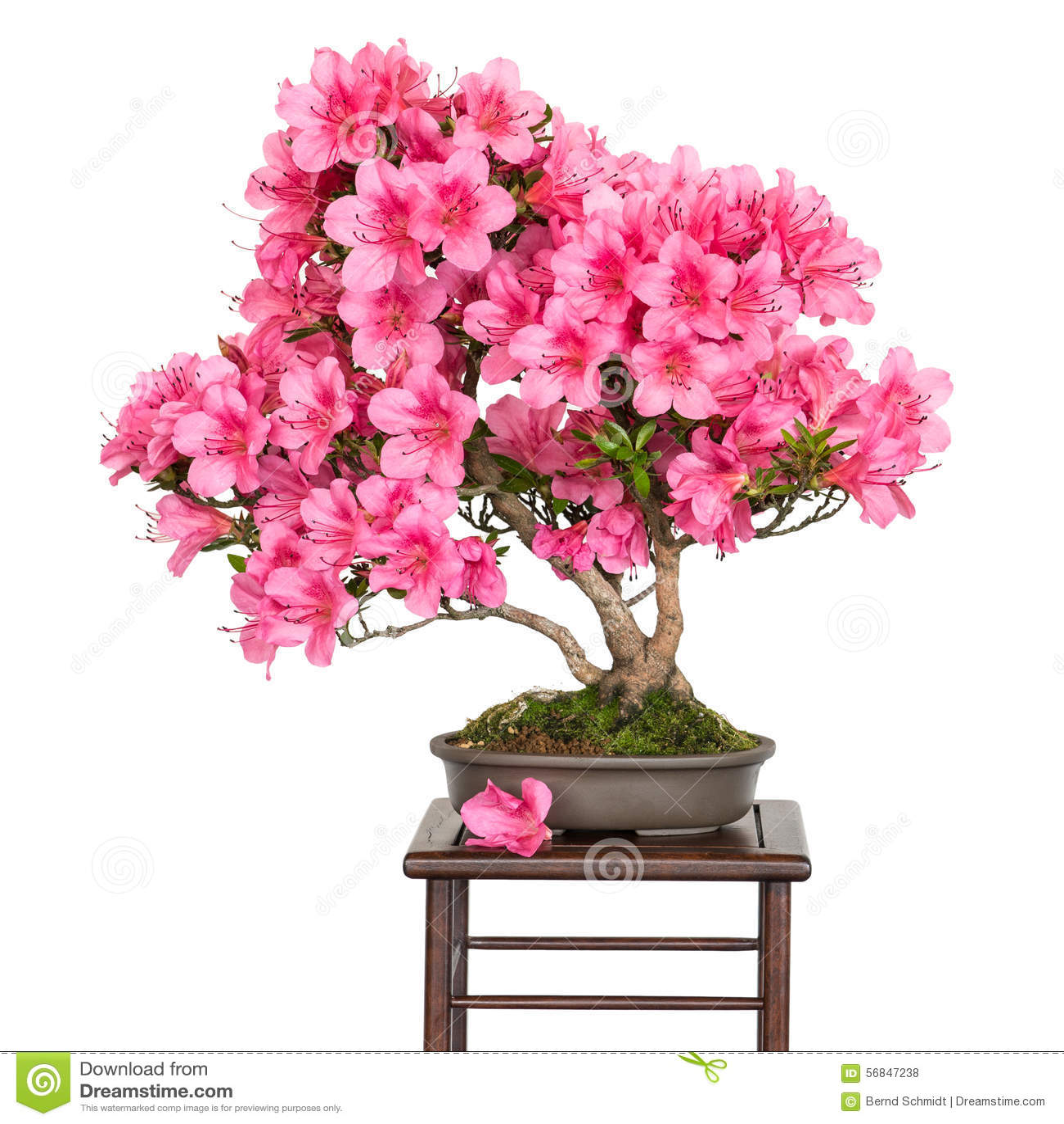 Indicum osakazuki del rododendro come albero dei bonsai for Rododendro pianta