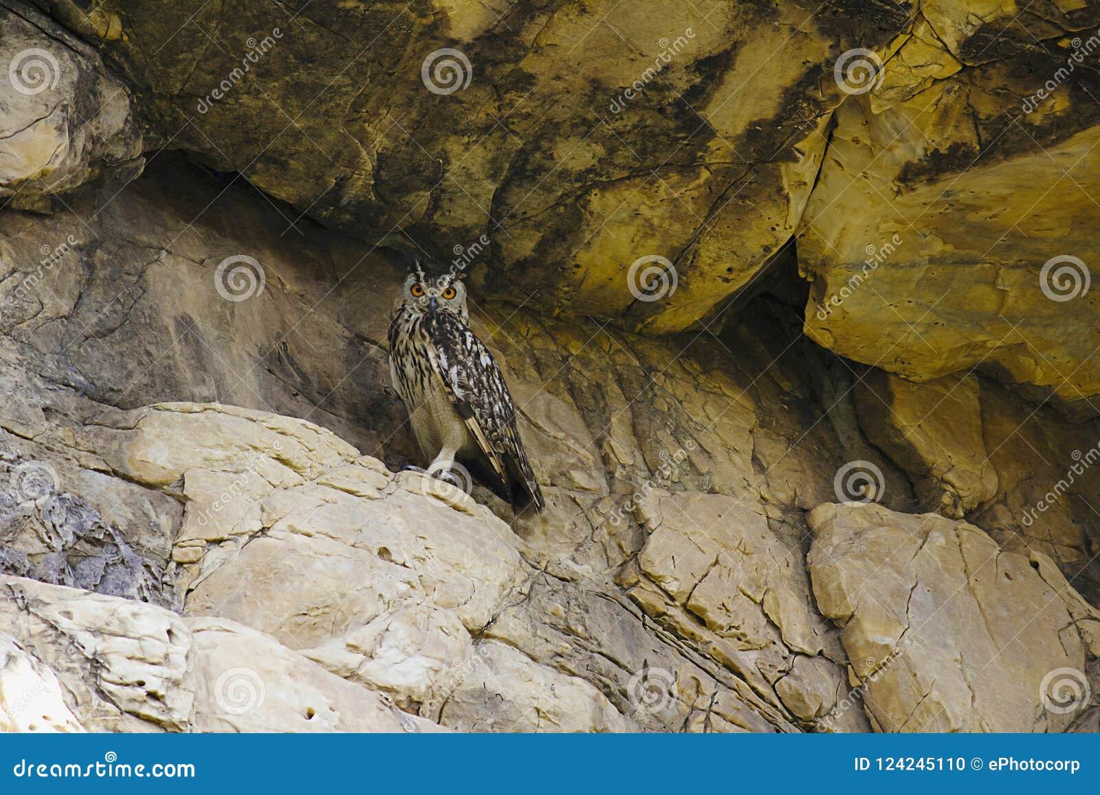 Indien Eagle Owl, bengalensis de Bubo Bera, Ràjasthàn, Inde