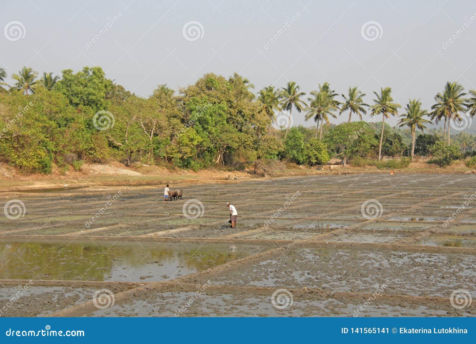 Indien GOA, Januari 19, 2018 Manliga arbetare plogar risfältet med ploger och tjurar eller oxar Ploga risfältet med en plog och