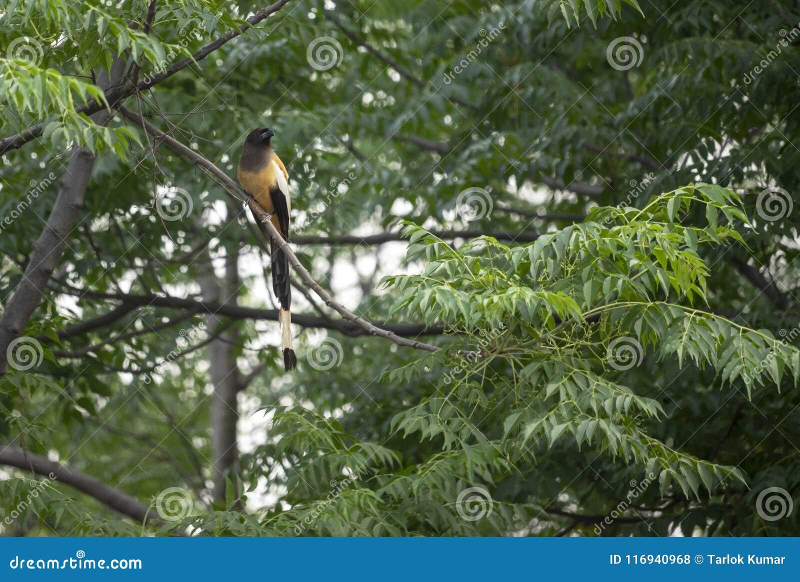 Indien Roufus Treepie