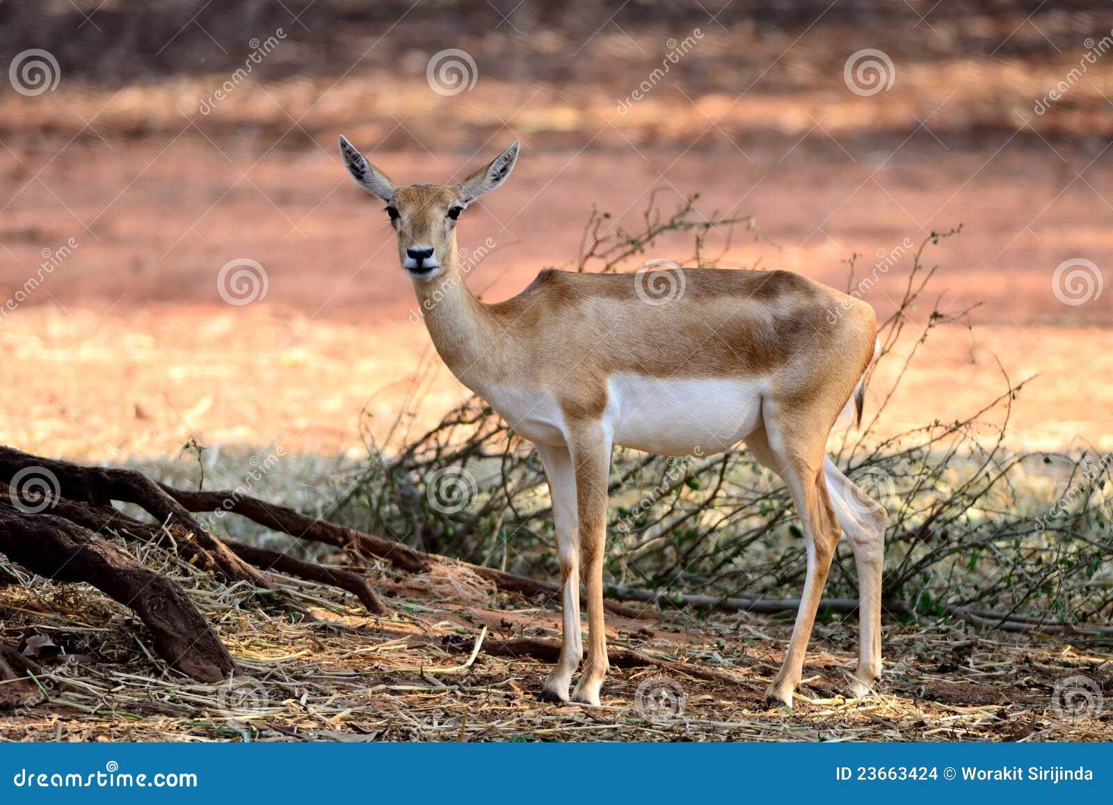 Indier för antilopblackbock