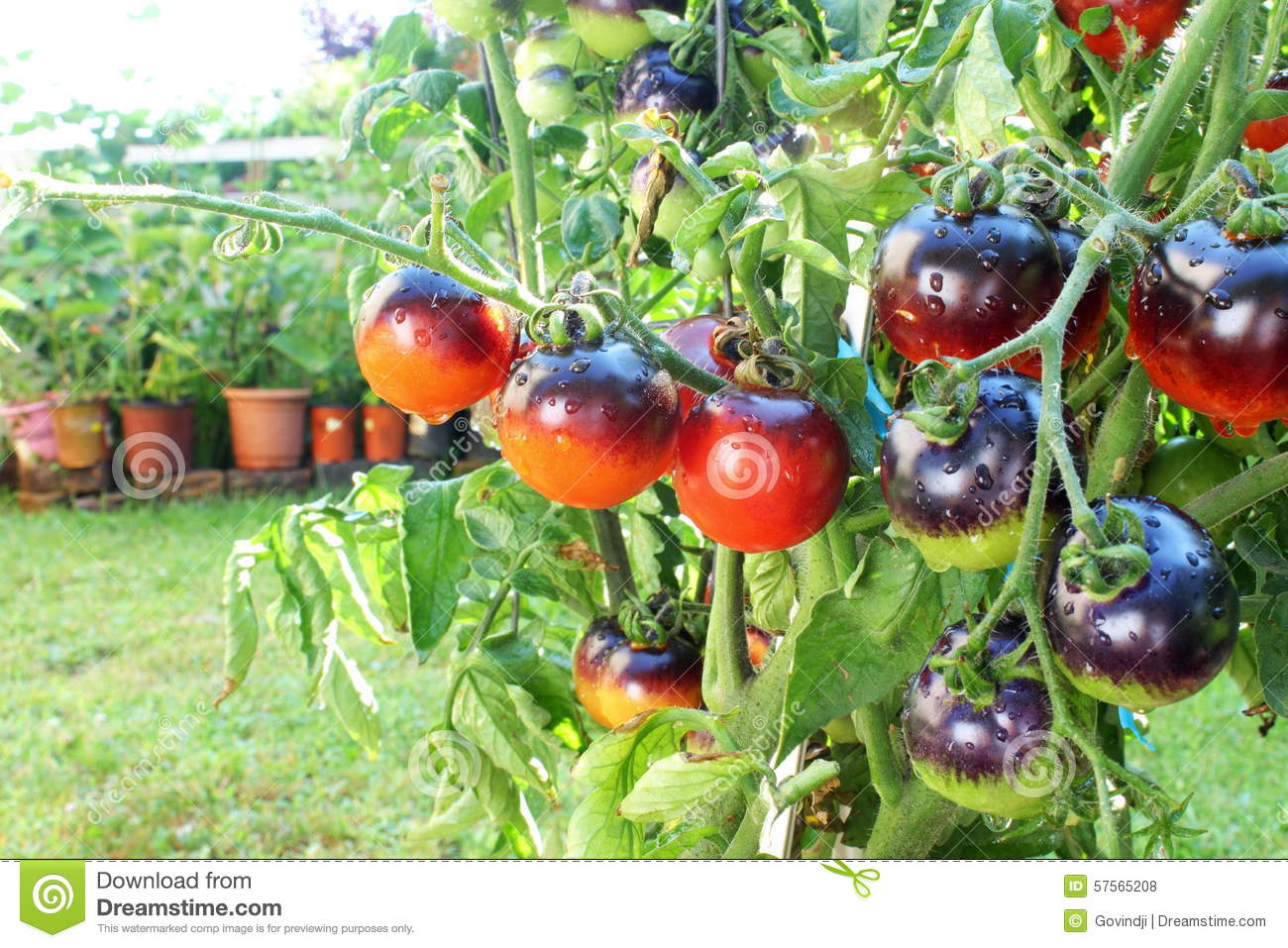 Indigo Rose Black Tomato On Tomato Plant Stock Photo ...