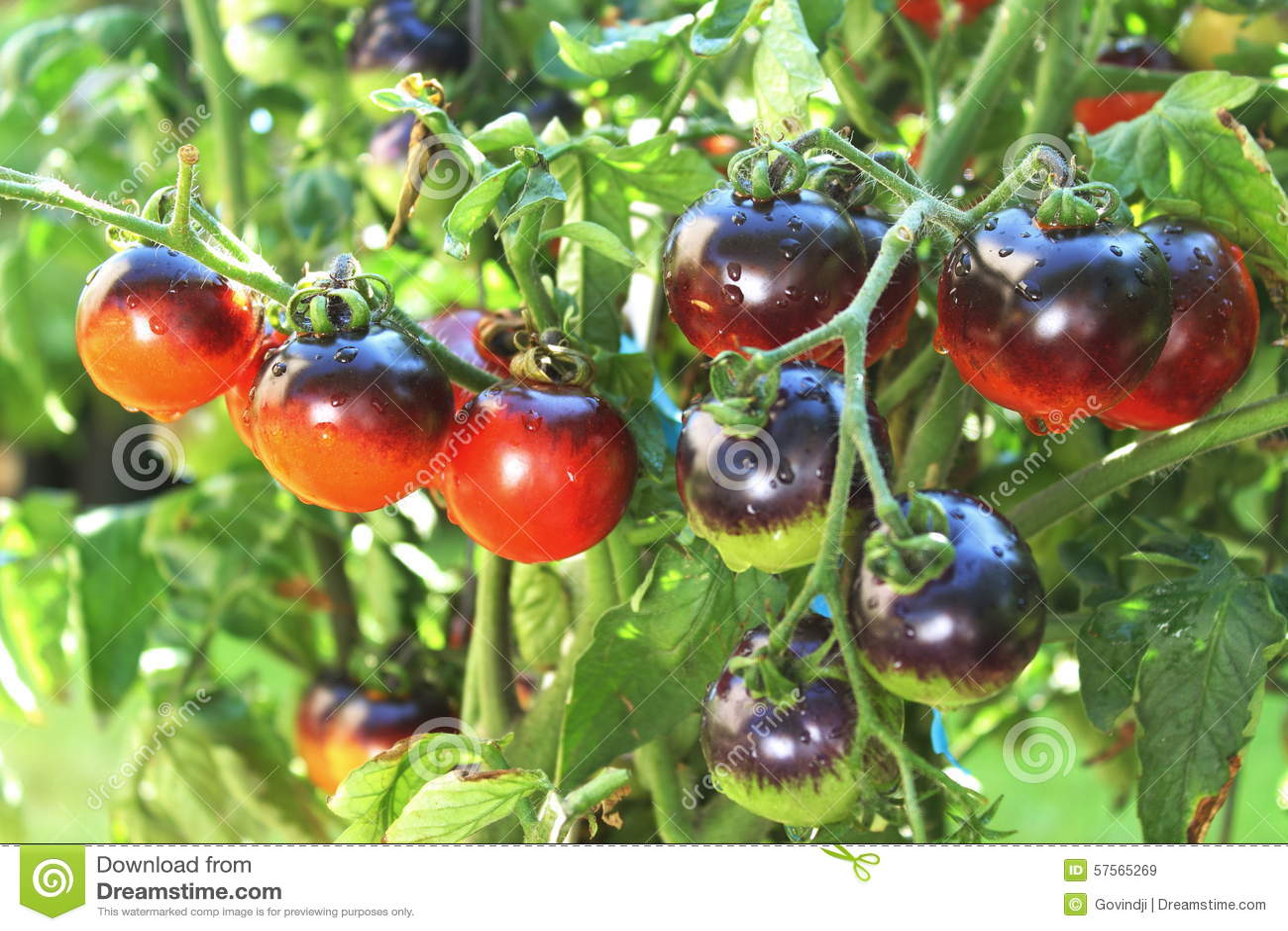Indigo Rose Black Tomato On Tomato Plant Stock Photo ...