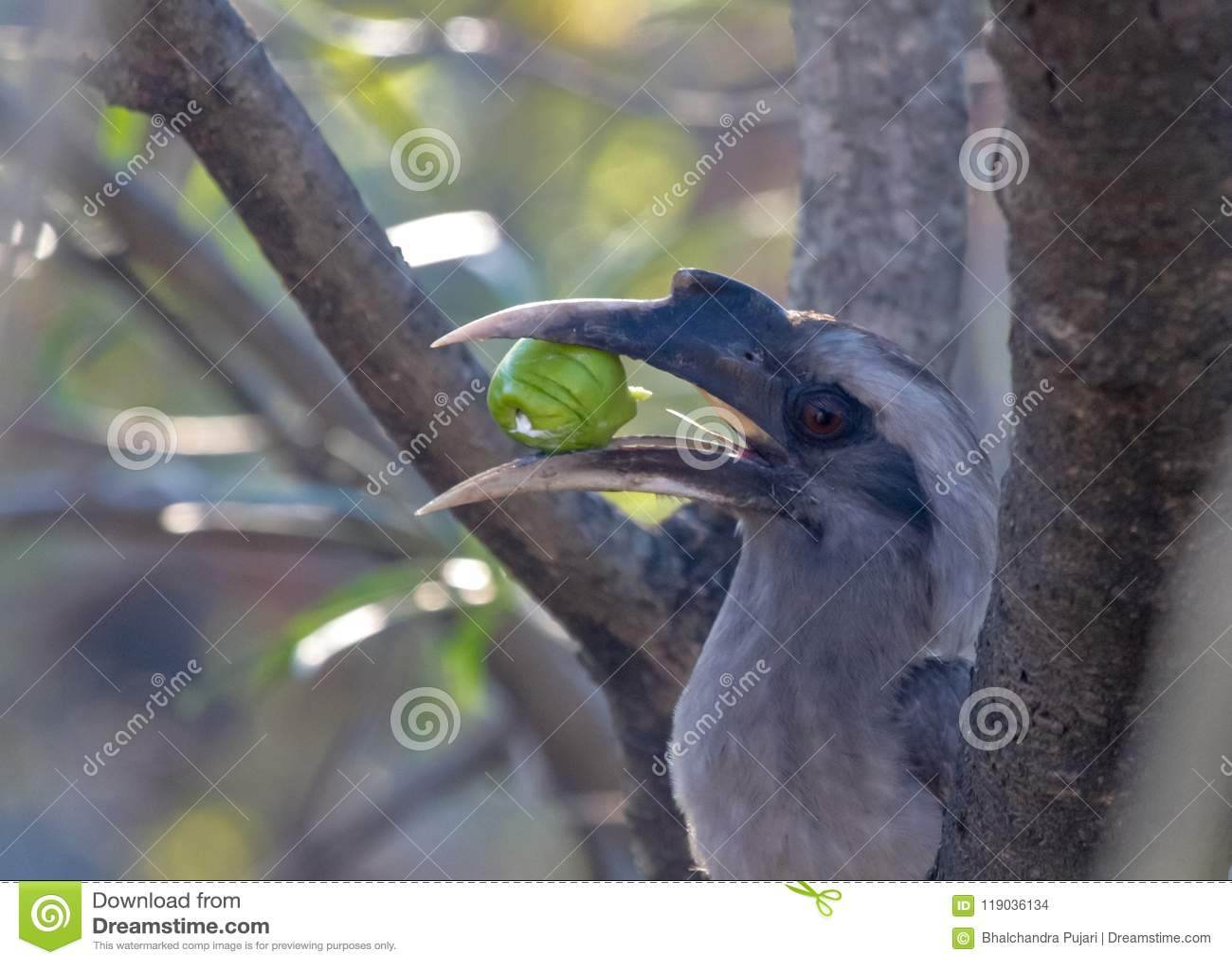 Indisch Grey Hornbills die het fruit kauwen