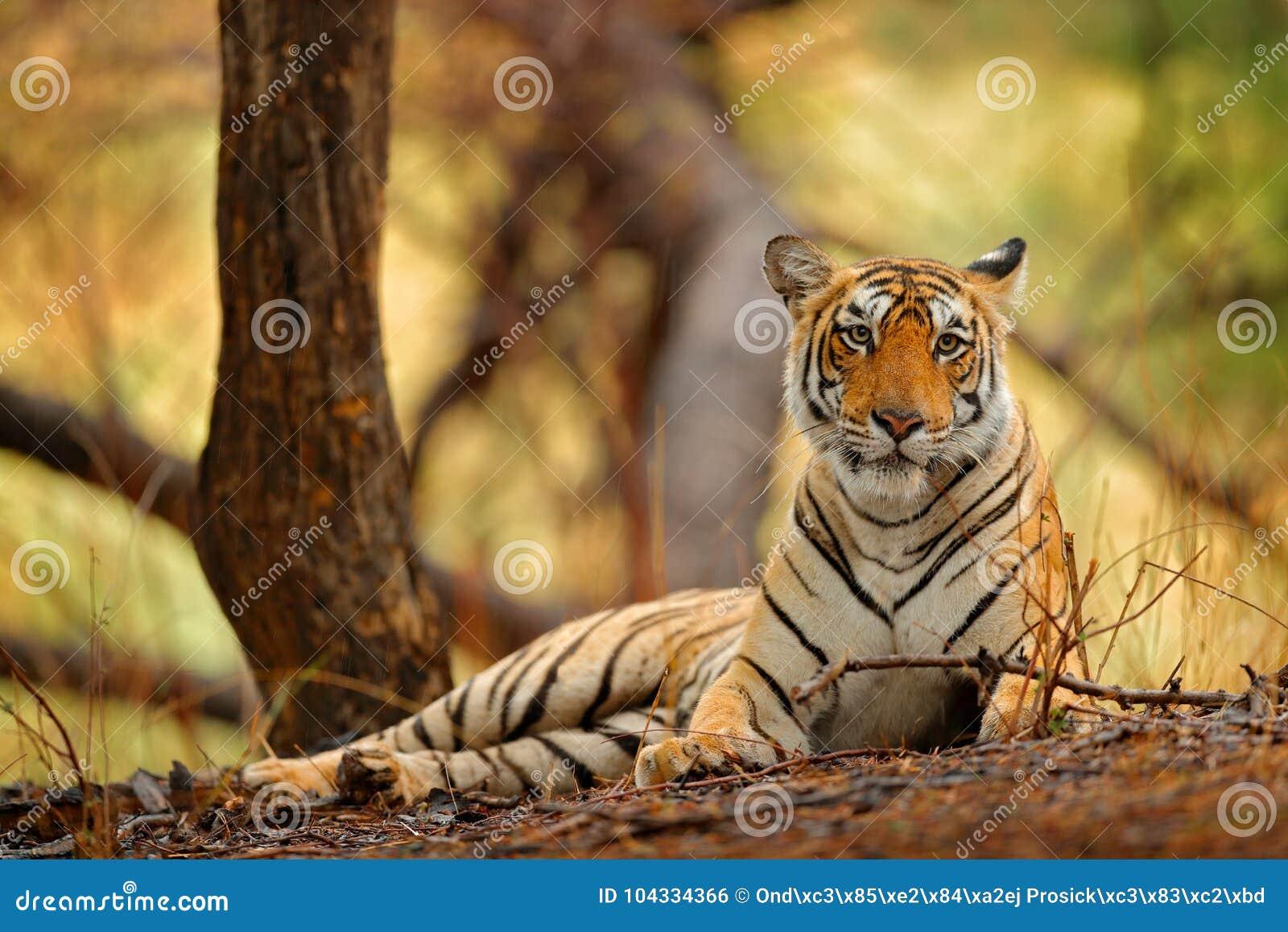 Indisch tijgerwijfje met eerste regen, wild dier in de aardhabitat, Ranthambore, India Grote kat, bedreigd dier Eind van droog