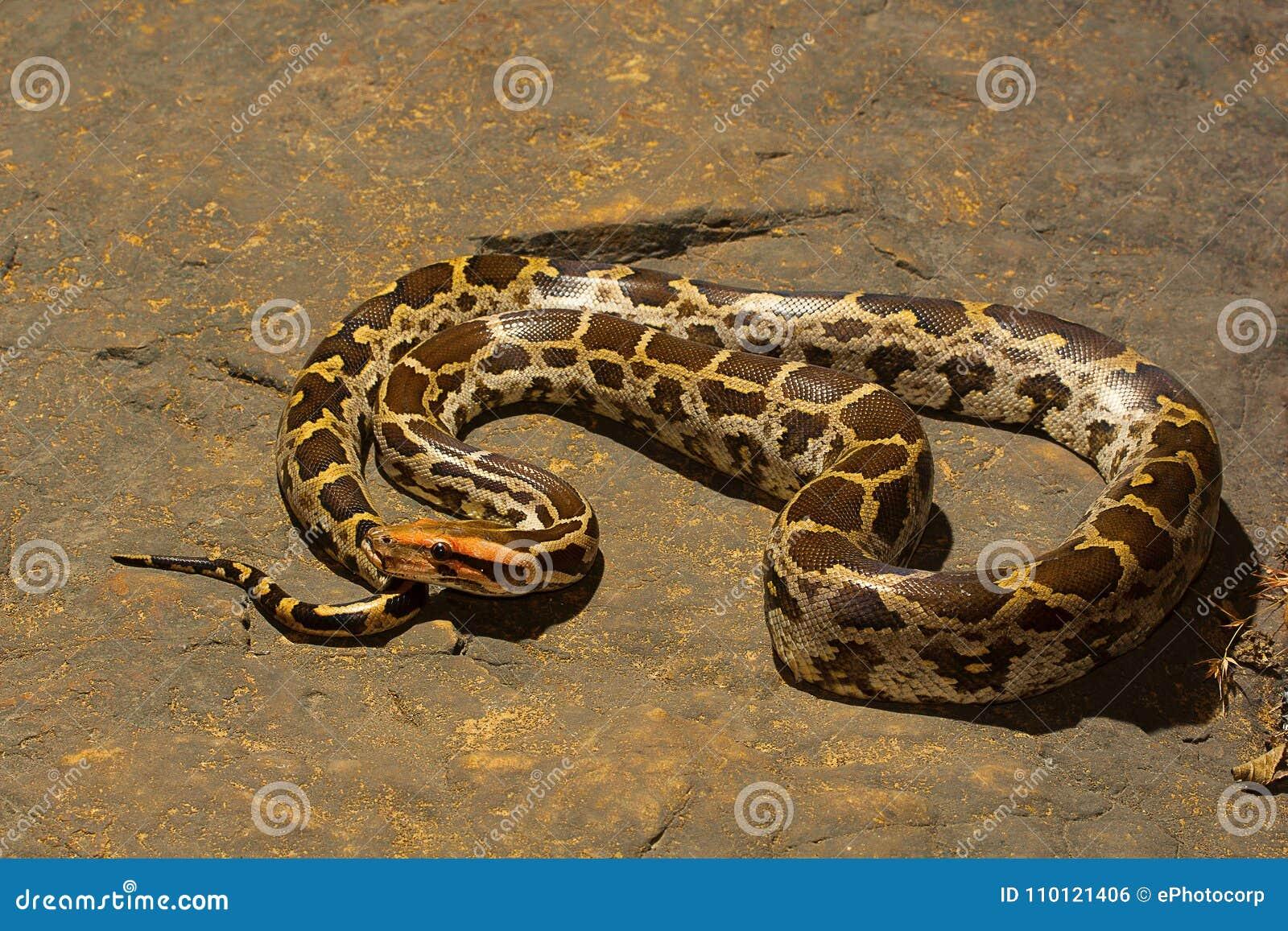 Indische Felsenpythonschlange, Pythonschlange molurus, Aarey-Milch-Kolonie, INDIEN