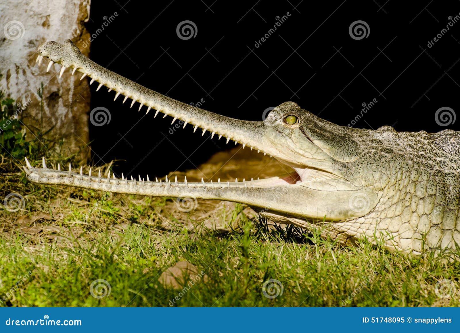 Indische krokodil Gharial