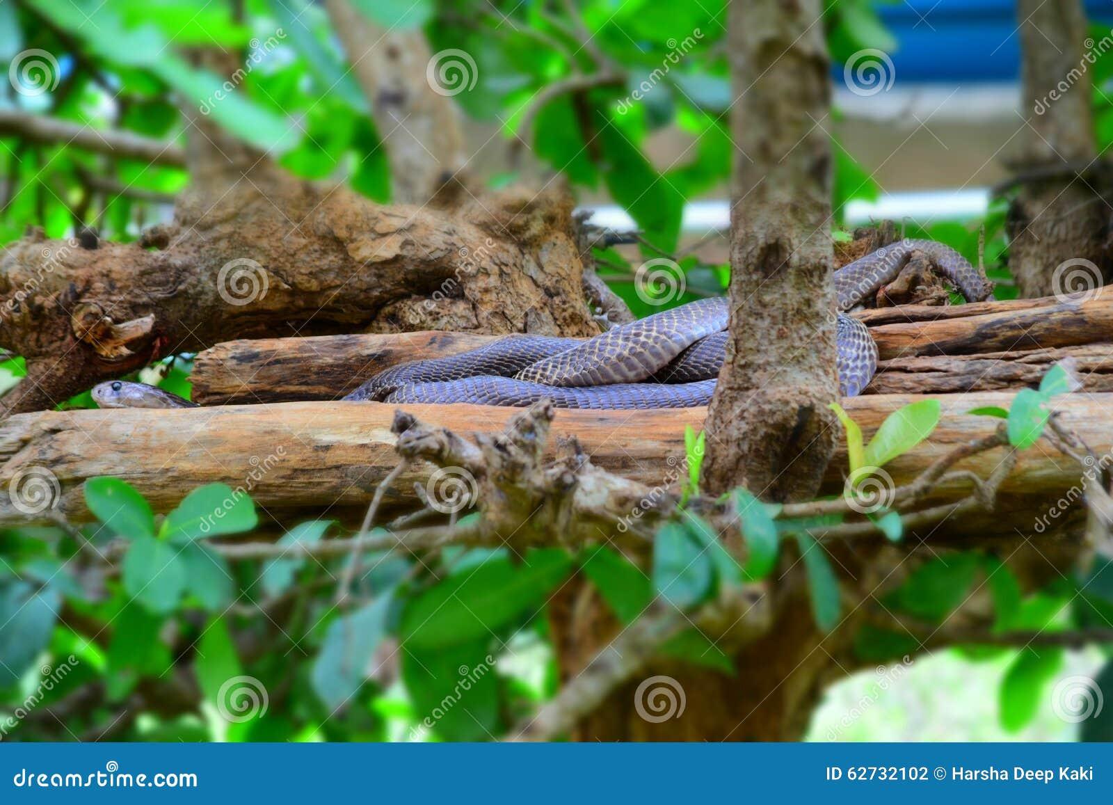 Indische Pythonschlange