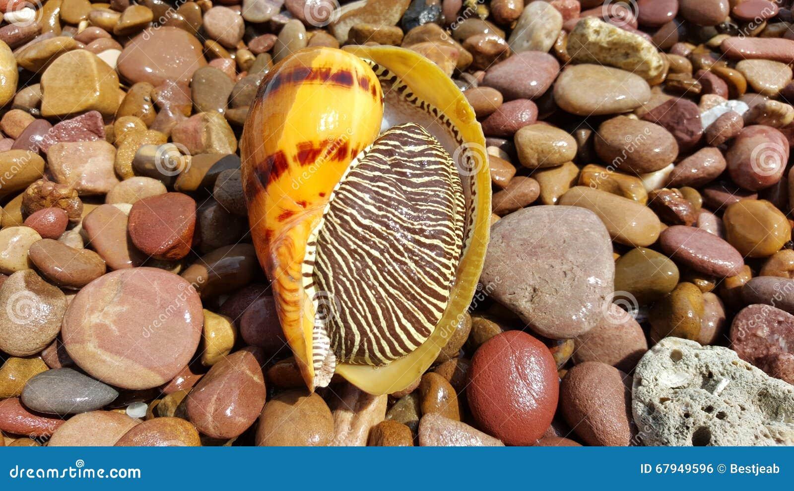 Indische volute, Bailer shell, Blotched-meloenshell