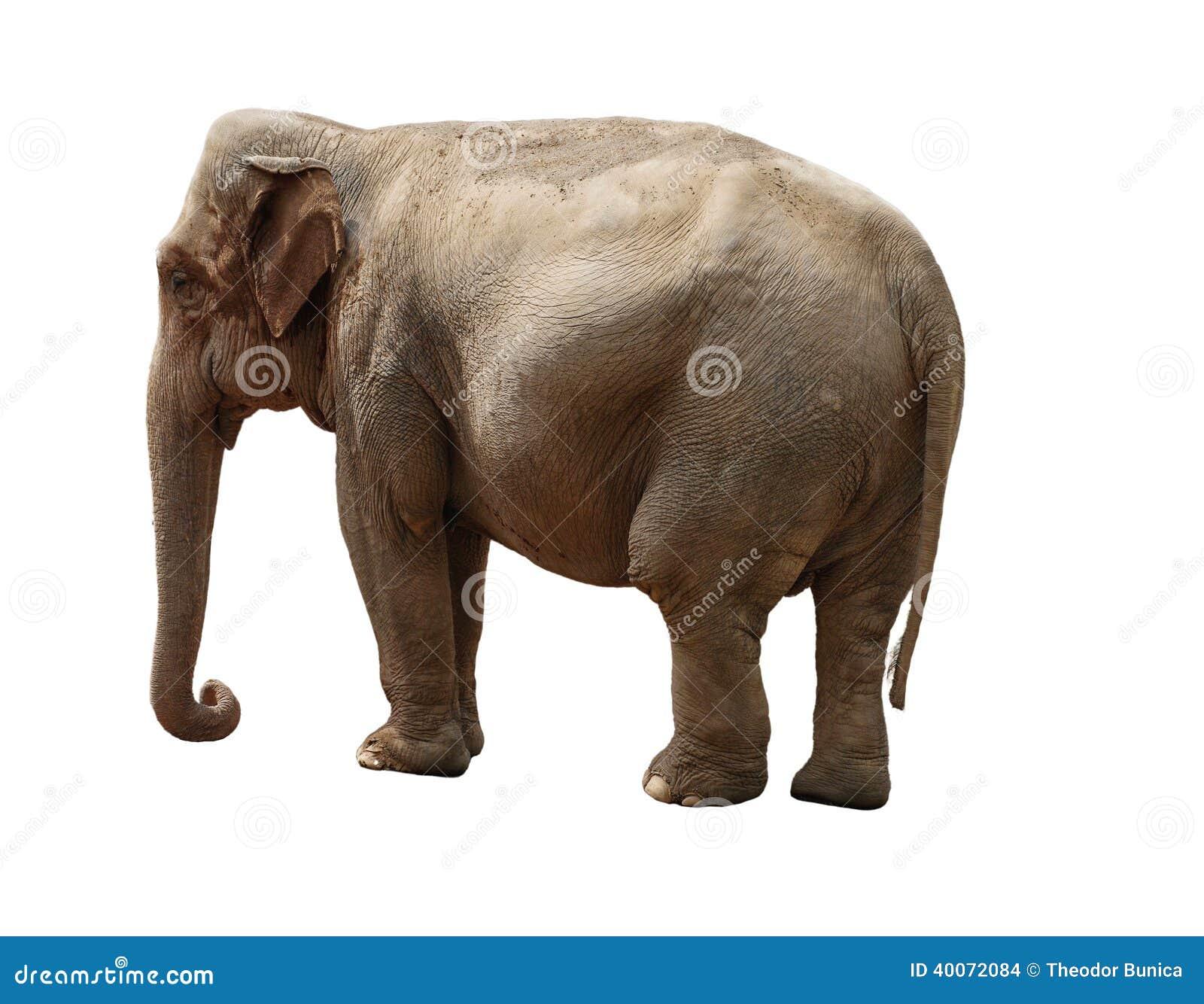 indischer elefant stockfoto bild von hintergrund