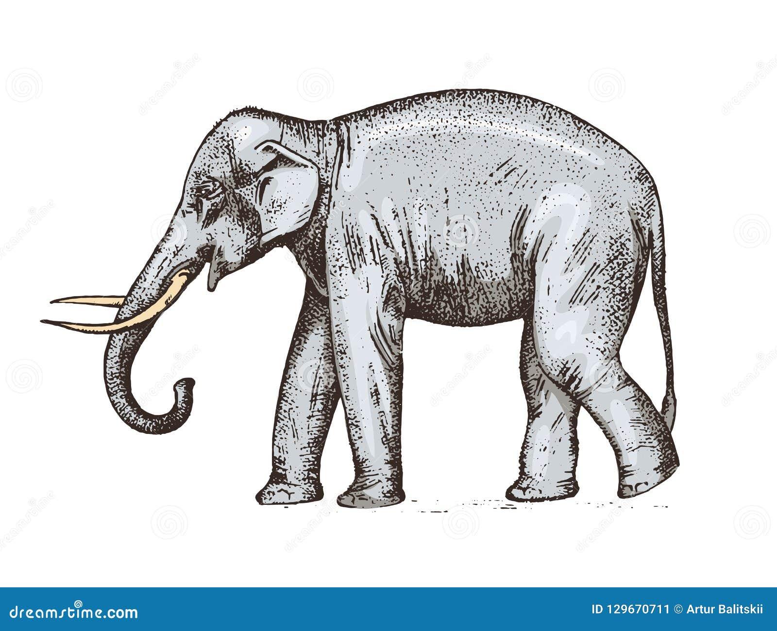 indischer elefant wildes tier im warmen land graviertes