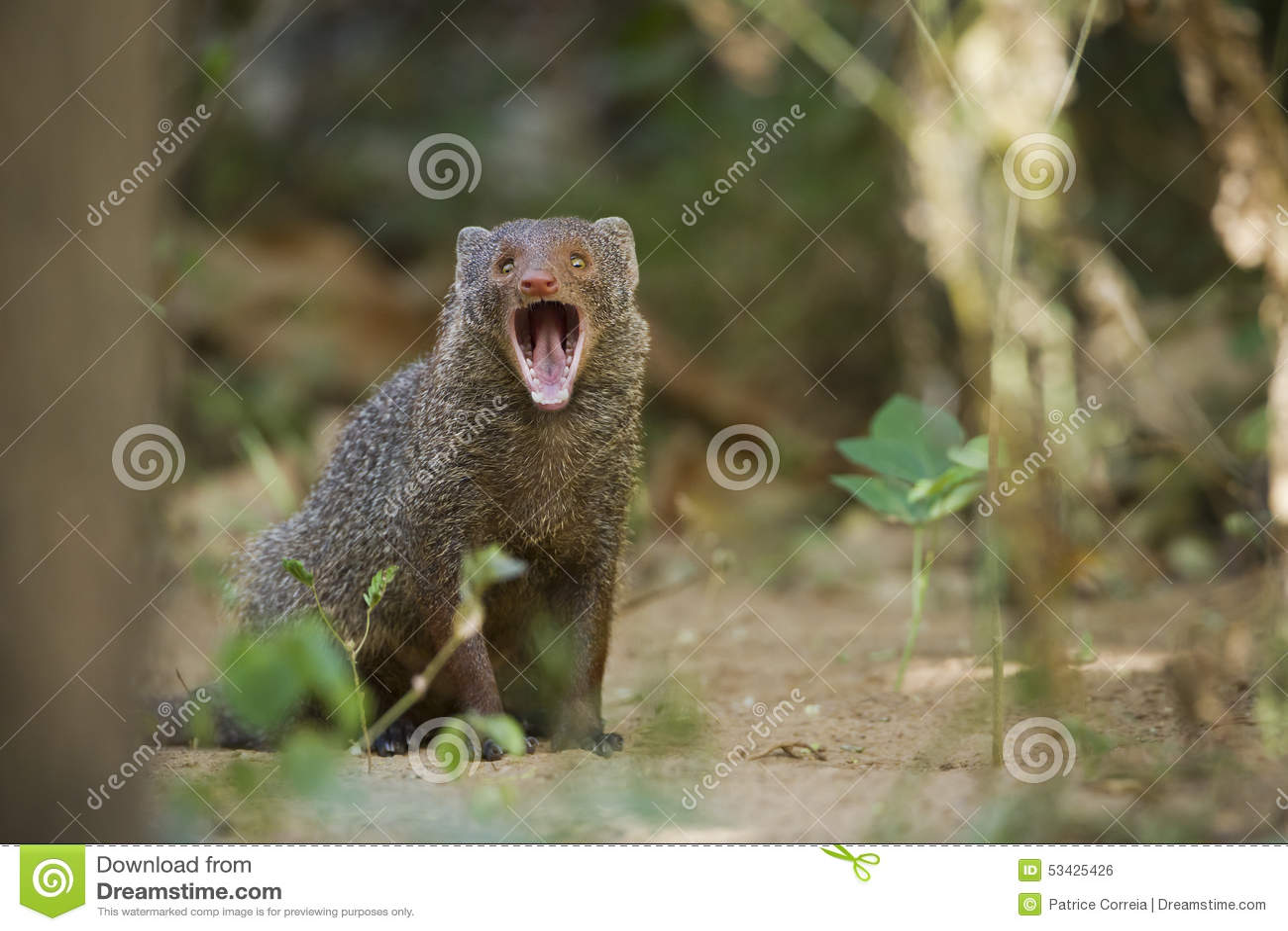 Indischer grauer Mungo in Sri Lanka
