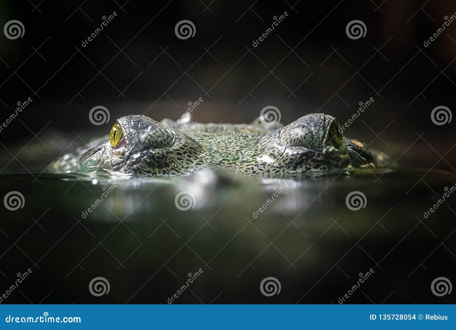 Indisches gavial