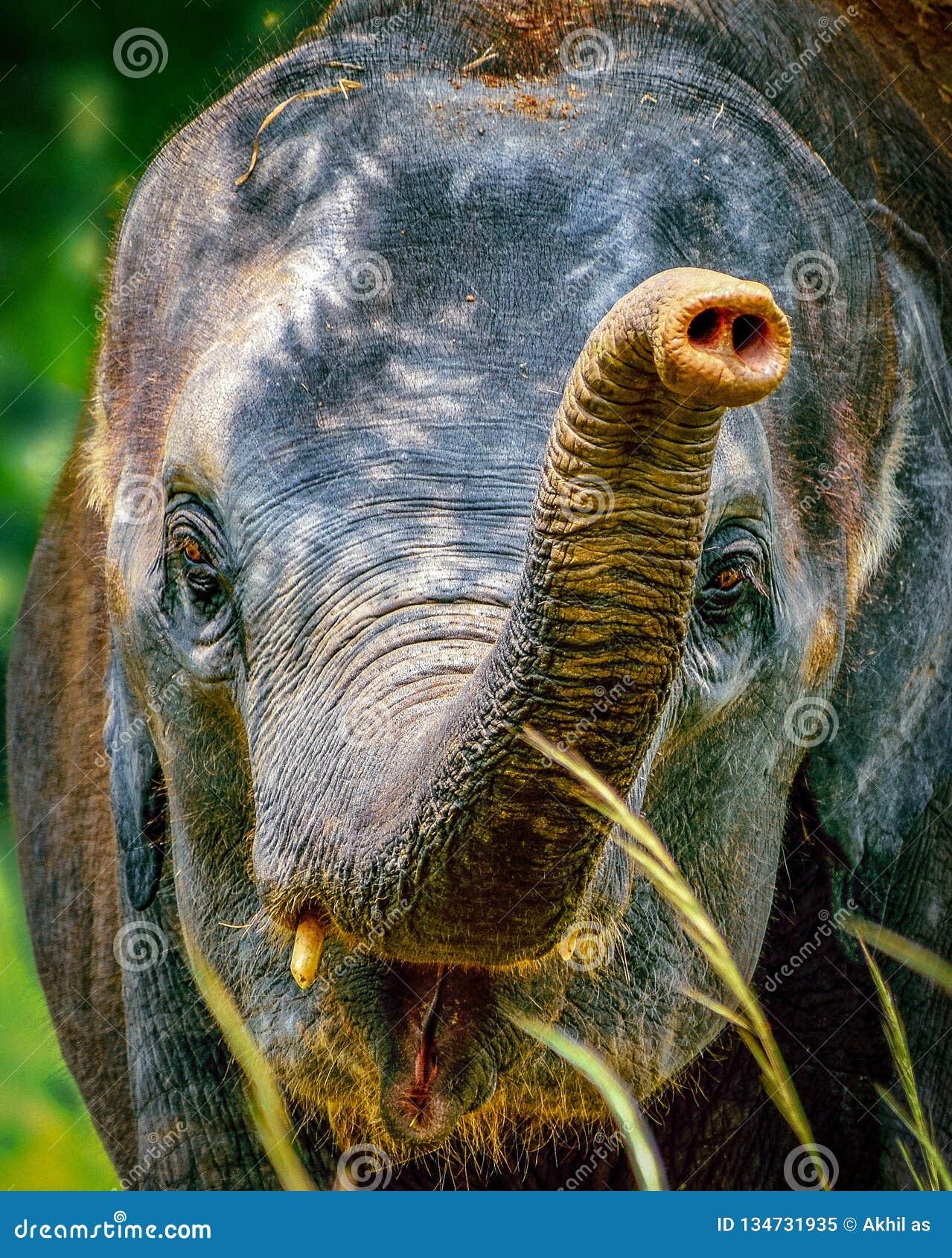 Indisk elefant