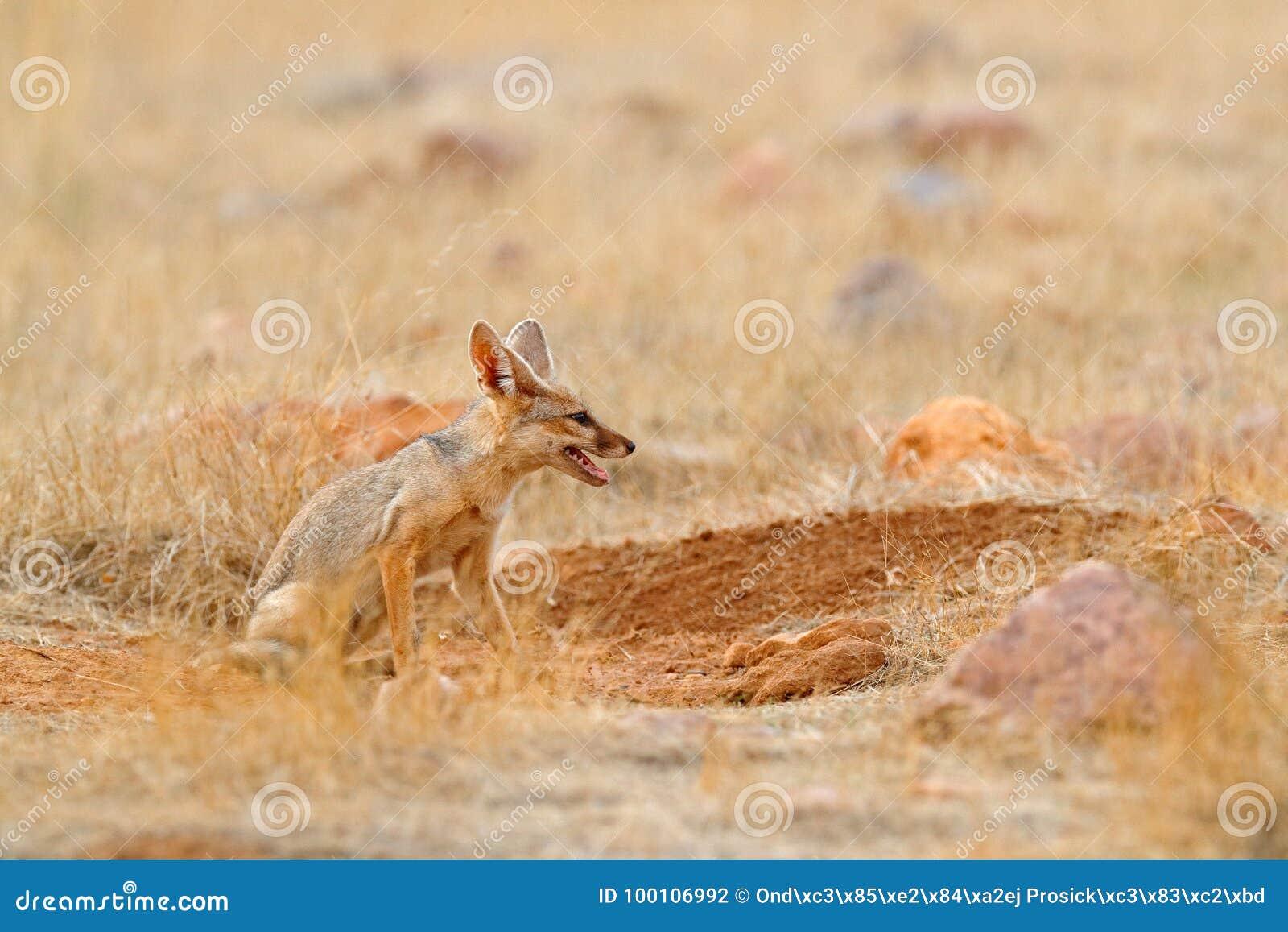 Indisk räv, Bengal räv, Vulpesbengalensis, Ranthambore nationalpark, Indien Löst djur i naturlivsmiljö Near redejordning för räv