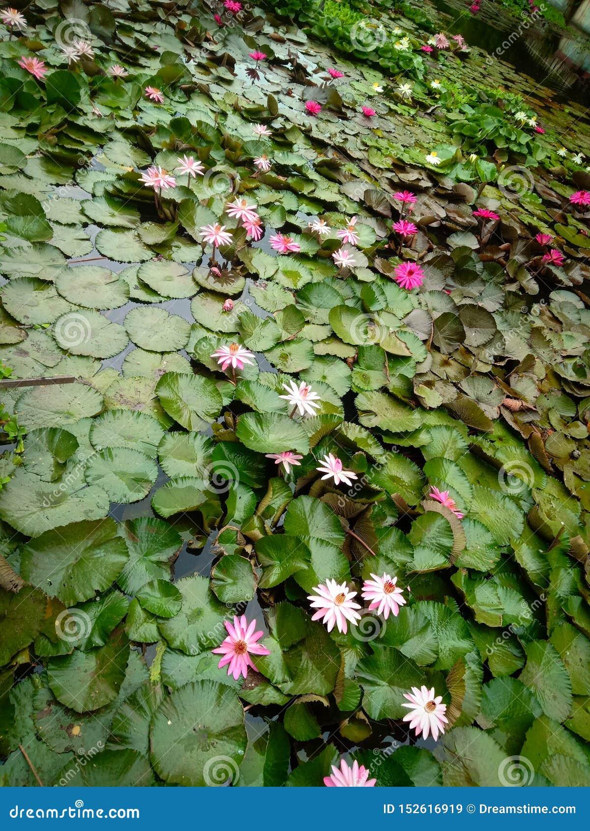 Indiska sjölotusblommablommor i trädgård