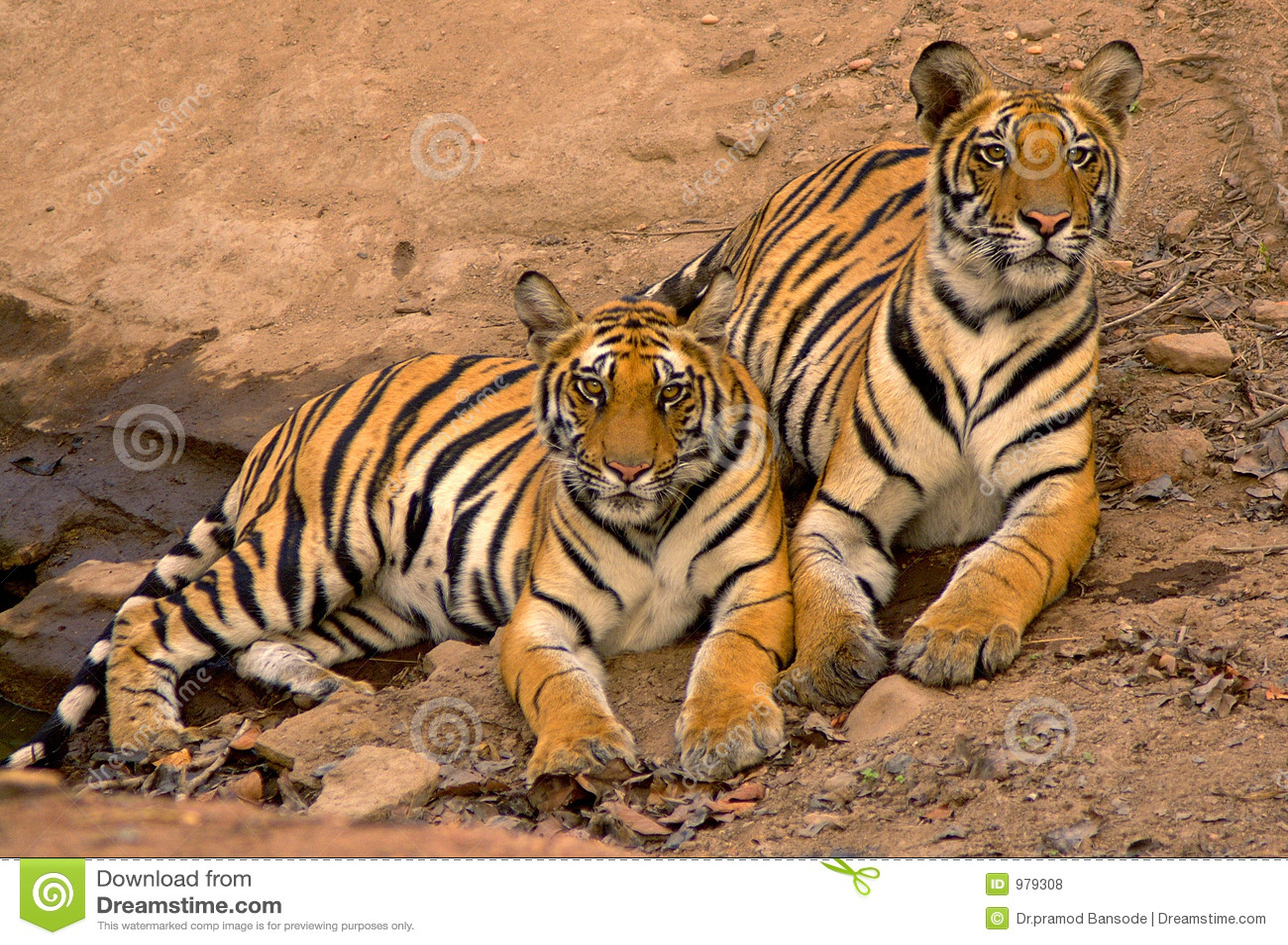Indiska tigrar