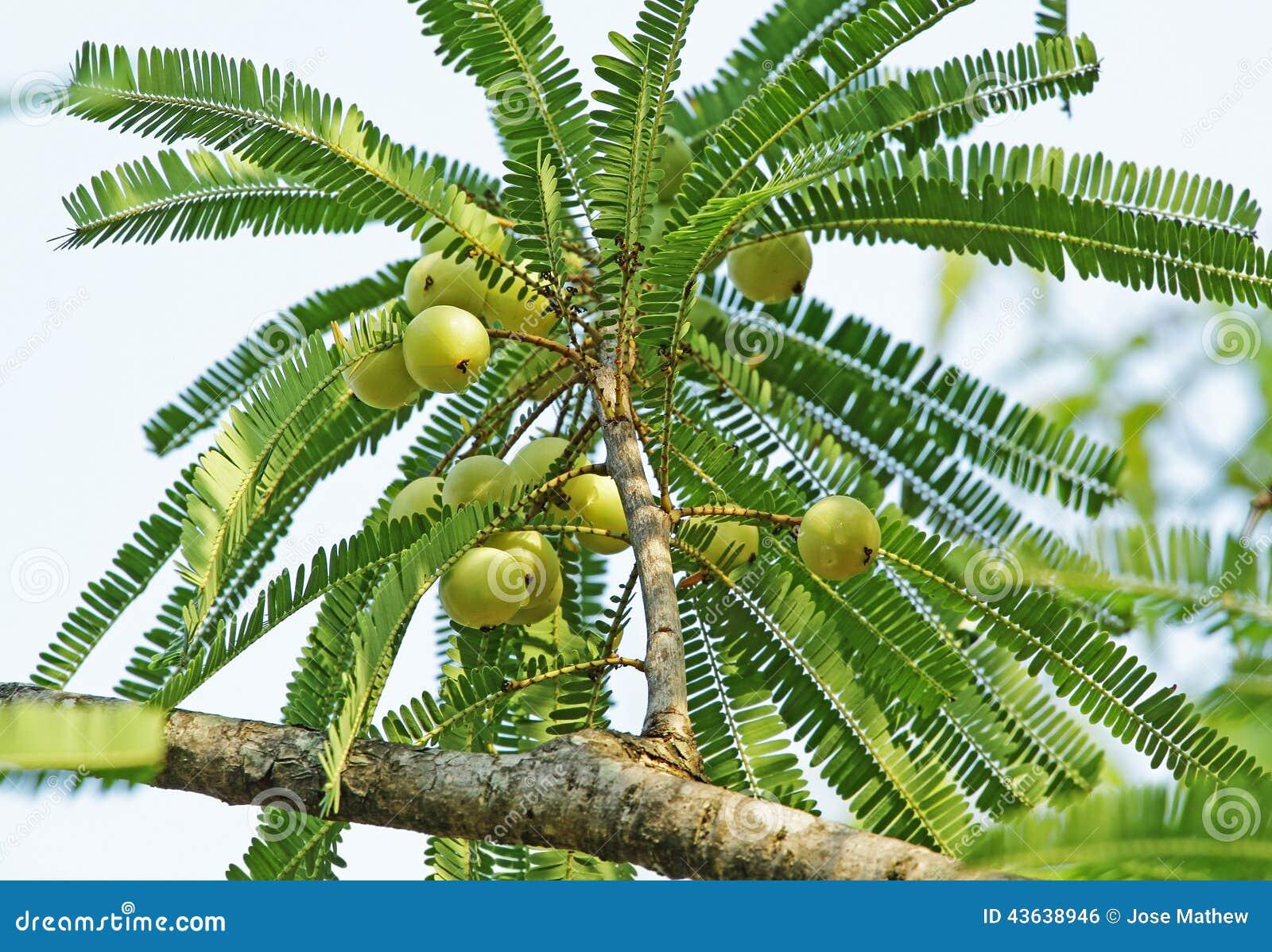 Indiskt krusbär, Phyllanthus Emblica