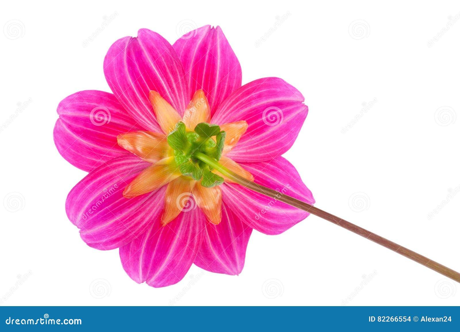 Individuos de la dalia de la flor del jardín felices