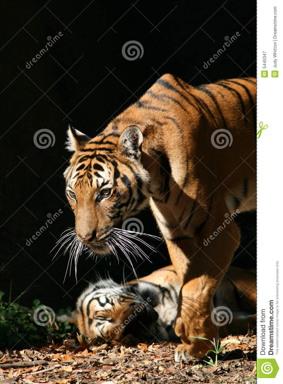 indochinese tiger royalty free stock photography image