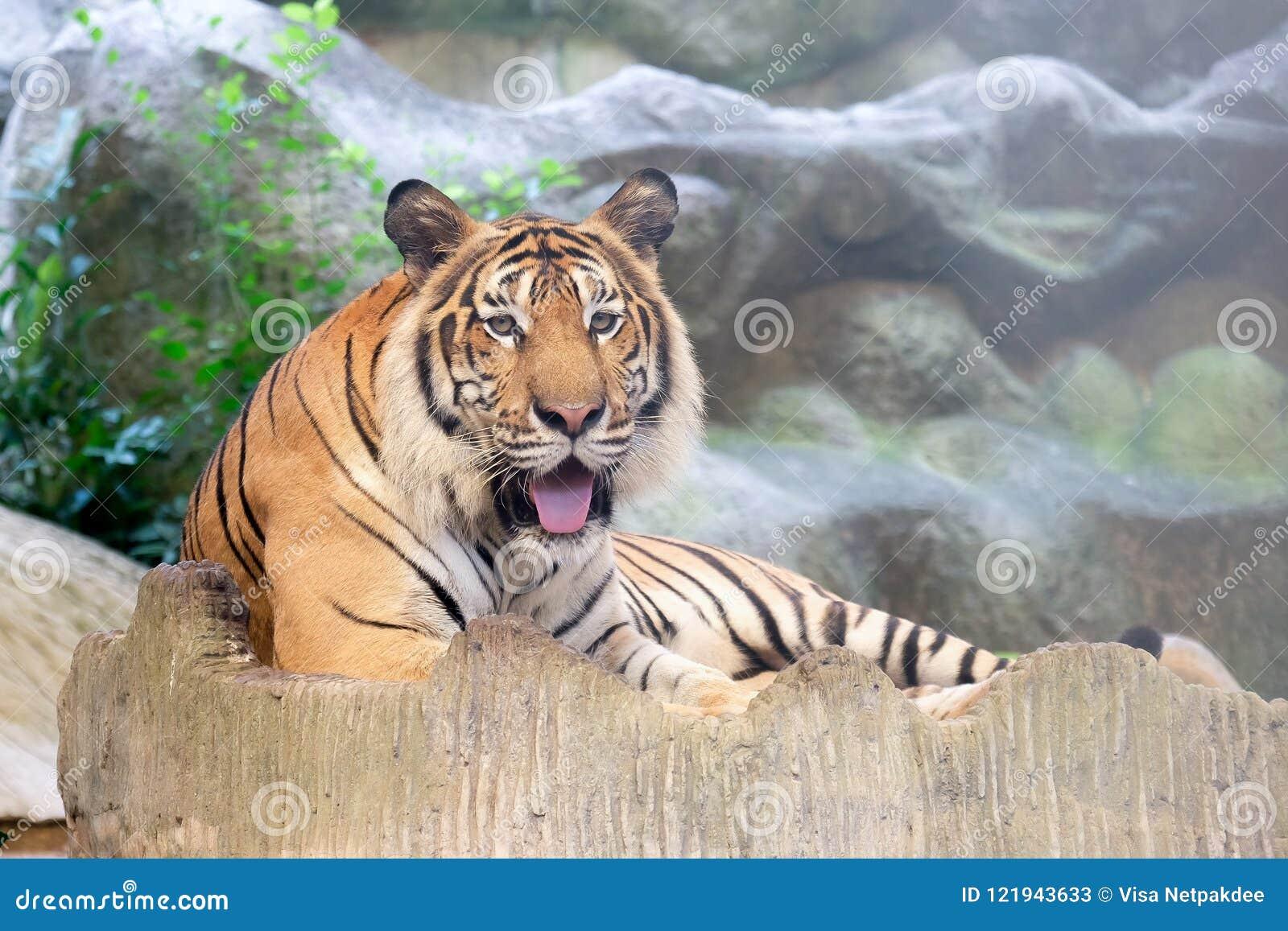 INDOCHINESE TIGER Panthera tigris corbetti